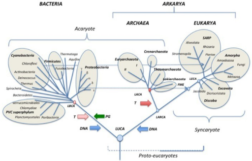 Schematic universal tree updated from (Woese et al., 1990; see text for explanations). PG: peptidoglycan; DNA (blue arrows) introduction of DNA; T (pink and red arrows) thermoreduction. LBCA: Last Bacterial Common Ancestor, pink circle: thermophilic LBCA; LACA: Last Archaeal Common Ancestor, red circle, hyperthermophilic LACA. LARCA: Last Arkarya Common Ancestor; FME: First Mitochondriate Eukarya; LECA: Last Eukaryotic Common Ancestor; blue circles, mesophilic ancestors. SARP: Stramenopila, Alveolata, Rhizobia, Plantae.