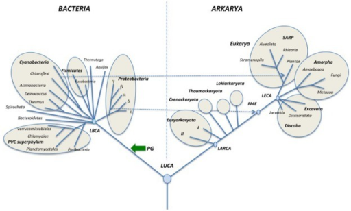 "Schematic universal tree updated from Woese et al. (1990) and modified according to the ""eocyte"" hypothesis. Abbreviations are the same as in Figure 3. In this configuration, Archaea is no more a valid taxon since ""Archaea"" are paraphyletic (LACA is also an ancestor of Eukarya) suggesting using the suffix karyota for the various ""archaeal"" phyla. Together with Eukarya, these phyla became various phyla of Arkarya."