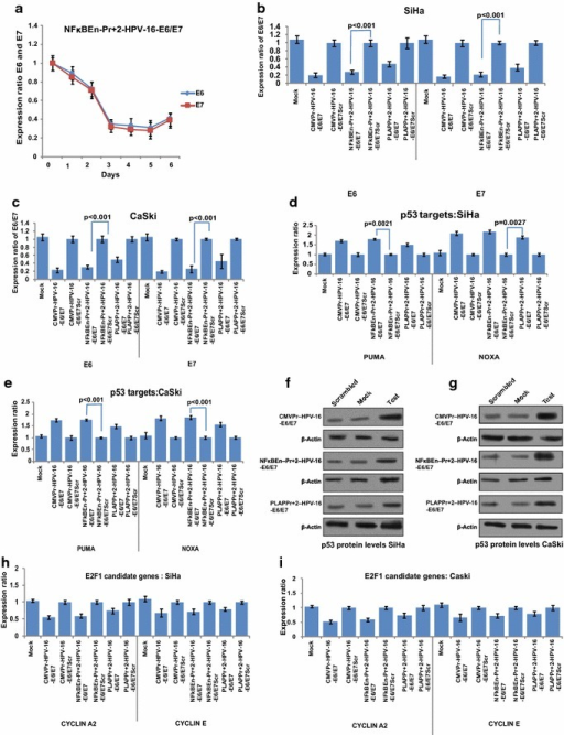 Specificity of test shRNA towards HPV-16 enhancer. a Time dependent fall in the expression of HPV-16 E6 and E7 by NFκBEn–Pr+2-HPV-16–E6/E7, in SiHa cells, showed maximum suppression after 5 days (p < 0.05 at all-time points). The apparent increase in E6 and E7 mRNA on the 6th day compared with 5th day was statistically insignificant (p = 0.22). b, c Decrease in E6 and E7 mRNA levels is seen in both HPV-16 positive cell lines SiHa and CaSki and the fall in E6/E7 expression is in concordance with strength of the construct driving shRNA expression. NFκBEn–Pr+2-HPV-16–E6/E7 significantly decreased HPV-16 E6/E7 mRNA levels over PLAPPr+2-HPV-16–E6/E7 in SiHa cell line (p = 0.022 and p = 0.030 for E6 and E7, respectively) and CaSki (p = 0.041 and p = 0.017 for E6 and E7, respectively). d, e Post HPV-16 E6/E7 suppression by shRNA, significant increase in the expression of p53 target genes was observed in SiHa and CaSki cells at the mRNA level. f and g Restoration of p53 protein, post HPV-16 E6/E7 suppression corroborated with the mRNA levels of PUMA and NOXA. h and i Decrease in the HPV-16 E7 expression, post shRNA treatment, significantly reduced levels of E2FI candidate genes like cyclin A2 and E (p < 0.05).