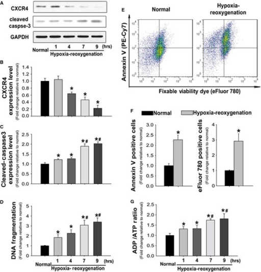 Hypoxia-reoxygenation-induced apoptosis is associated with the decreased CXCR4 expression in rat cardiomyocytes. (A) Representative immunoblots illustrating CXCR4, cleaved-caspase3 and GAPDH in response to the hypoxia/reoxygenation (H/R). (B and C) Quantitative analysis of CXCR4 (B) and cleaved-Caspase3 (C) expression levels relative to normal condition after normalization to GAPDH levels. (D) DNA fragmentation (mono- and oligo-nucleosomes contents) in isolated rat myocytes was detected by ELISA in presence and absence of H/R injury. (E) Representative flow cytometric pseudo-colour density plots illustrating the distribution of apoptotic (PE-Cy7 positive) and necrotic (eFluor-780 positive) cells. (F) Quantitative analysis of annexin V or eFluor-780 positive cells in either the absence or presence of HR injury. (G) ADP and ATP concentrations were assessed by colorimetric assay, and the ratios of ADP to ATP were used to determine the energetic metabolism of cardiomyocytes either in the absence or presence of H/R. n represents six independent experiments; *P < 0.05 versus normal group; #P < 0.05 versus H/R 1 and 4 hrs.