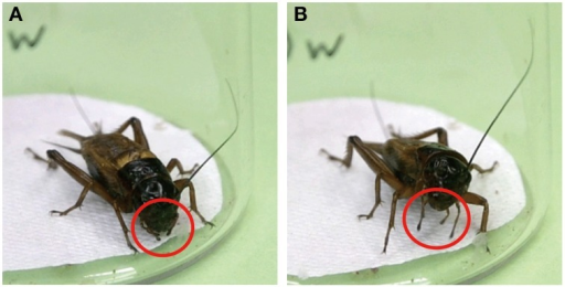 Maxillary palpi extension response (MER) of the cricket. (A) When a cricket is stationary, its maxillary palpi are typically held loosely beneath the mouthparts (red circles). (B) Upon presenting a drop of water to an antenna of the cricket, the cricket extended (red circles) and vigorously swung its maxillary palpi while raising its head.
