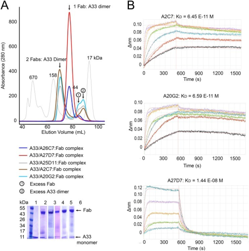 Fab/A33 binding interactions.(A) Determination of A33/Fab binding stoichiometry by size exclusion chromatography (SEC). Fab/A33 complex formation of five different MAbs (A2C7, A26C7, A25D11, A27D7, and A20G2) is illustrated. Two major peaks corresponding in size to 1 Fab: 1 A33 dimer (red and blue curve) and 2 Fabs: 1 A33 dimer (brown, cyan and grey) complexes are visible. Presence of both Fab and A33 in each peak are confirmed by SDS-PAGE (bottom left corner). Molecular weight markers with sizes in kDa are shown as a reference (thin grey curve). (B) Real-time A33 binding curves to immobilized MAbs as assessed by BLI. Note that A33 dissociates much slower from MAbs A2C7 and A20G2, compared to A27D7, likely to its ability to simultaneous bind to two Fabs.
