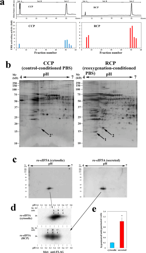 Isolation and identification of an apoptosis-inducing protein secreted from cardiac myocytes in response to hypoxia/reoxygenation.(a) Chromatofocusing of CCP (left panel) and RCP (Right panel) from cultured cardiac myocytes. The blue and red bars indicate the ERK-inducing effect of each fraction on the cultured cardiac myocytes. (b) 2-D gel electrophoresis of the ERK-activating fractions (fractions 49–52) from CCP (left panel) or RCP (right panel) followed by silver staining. The arrows indicate protein spots in the RCP (left panel) that were not detected or were very weakly detected (2′) in the CCP (left panel). (c) Western blot analysis of cytosolic re-eIF5A from untreated transfected cells (left panel) and re-eIF5A from the RCP (right panel); the membrane was probed with an anti-FLAG mAb and was developed via chemiluminescence using alkaline phosphatase. (d) Magnification of the spots shown in c (cytosolic re-eIF5A [upper panel] and re-eIF5A from RCP [lower panel]). The arrows indicate the unhypusinated (A and A'), deoxyhypusinated (B and B'), and hypusinated forms of eIF5A (C and C'). (e) The hypusinated/unhypusinated ratio (mean ± s.e.m.) for cytosolic and secreted re-eIF5A (n = 4 for each, *P = 0.0209) (Mann-Whitney U-test).