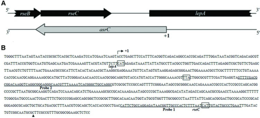 Schematic representation and sequence analyses of asrC. (A) Genomic location of asrC. Black arrows, location of rseB, rseC, and lepA genes; gray arrows, position of asrC. (B) Sequence analysis by RACE of the AsrC. Bent arrow, transcription start site; +1 and ▲, experimentally determined transcription start site and transcription stop site of the asrC, respectively; underlined sequence, two different positions of oligonucleotide probes used for Northern hybridization for AsrC expression.