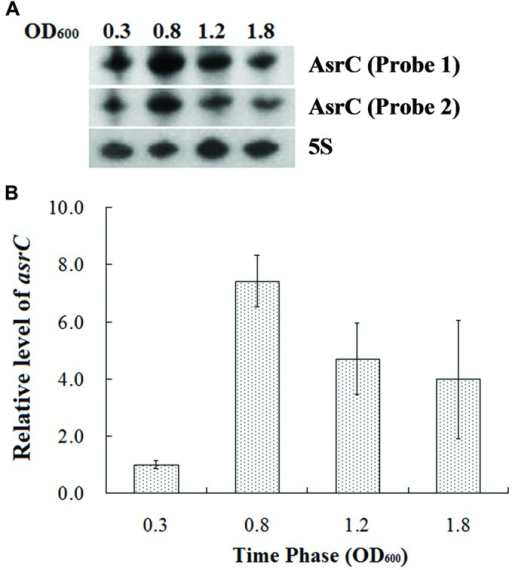 Expression of AsrC at different times. (A) Total RNA was extracted at OD600 0.3, 0.8, 1.2, and 1.8 and 5 μg total RNA was loaded into gels, separated on a 7 M urea/6% polyacrylamide gels and transferred to a membranes. Probes 1 and 2 for two regions were used for Northern hybridization. 5S rRNA was the loading control. (B) qRT-PCR to measure AsrC at different times. 5S rRNA was the internal reference.