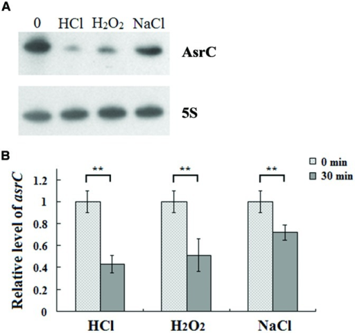 Expression of AsrC under stress conditions. (A) Northern hybridization and (B) qRT-PCR of total RNA isolated from Salmonella typhi cells grown in LB to OD600 0.4 and subjected for 30 min to acid stress (HCl: pH 4.5), oxidative stress (H2O2: 4 mM hydrogen peroxide) or osmotic shock (NaCl: 0.3 M NaCl). Internal reference was 5S rRNA. ∗∗P < 0.01 compared with control group.
