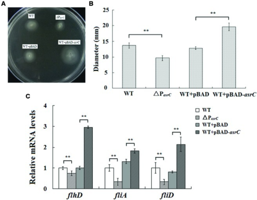 Motility assay of the wild type, ΔPasrC, WT+pBAD and WT+pBAD-asrC strains. (A) AsrC-promoter mutant strain with decreased motility. Overexpression of AsrC increased motility on swim-agar plates. (B) Motility ring diameters of S. typhi strains. Bacterial were spotted onto LB plates with 0.3% agar and incubated at 37°C for 8 h. The image is representative of three independent experiments. (C) mRNA of flagellar genes (flhD, fliA, and fliD) determined by qRT-PCR. RNA was extracted from three independent cultures for each strain grown to OD600 0.4. Levels of 5S rRNA were the internal reference. ∗∗P < 0.01 compared with control group.