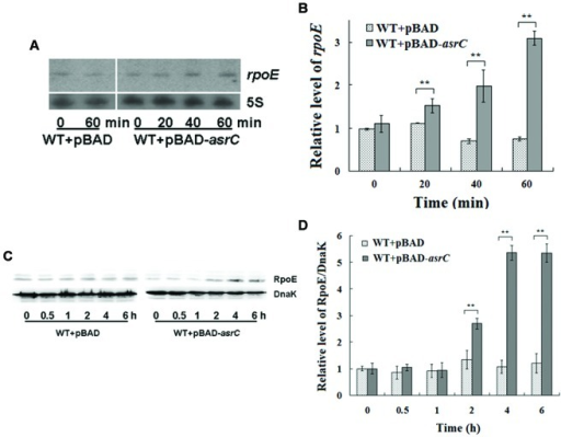 Overexpression of AsrC increased rpoE mRNA and protein.RpoE mRNA assessed by Northern hybridization (A) and qRT-PCR (B). Total RNAs were isolated from WT+pBAD and WT+pBAD-asrC strains grown to OD600 0.4 at 0, 20, 40, and 60 min after addition of L-arabinose (0.2% final concentration). Levels of 5S rRNA were the internal reference. (C) Western blot of RpoE protein relative to DnaK in WT+pBAD and WT+pBAD-asrC strains. Representative blots are shown. (D) Quantitation of RpoE protein levels based on Western blots. Experiments were repeated three times and error bars indicate standard deviations. ∗∗P < 0.01 compared with control group.