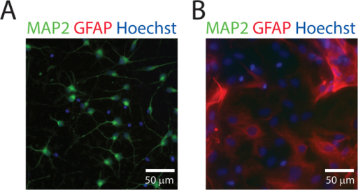 Purity of iCell neurons.(A) Representative image of uninjured iCell neurons stained with MAP2, GFAP, and Hoechst 33342 demonstrating the absence of astrocytes. (B) Rat astrocyte culture stained and imaged with an identical protocol as a positive control.