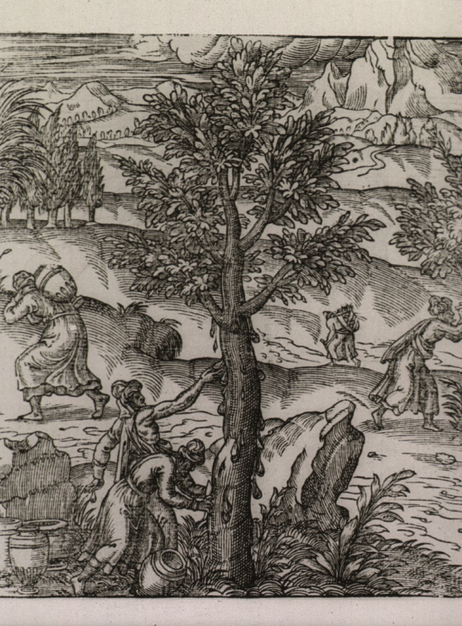 <p>Exterior view: several men are gathering a gum resin exudate from trees.</p>