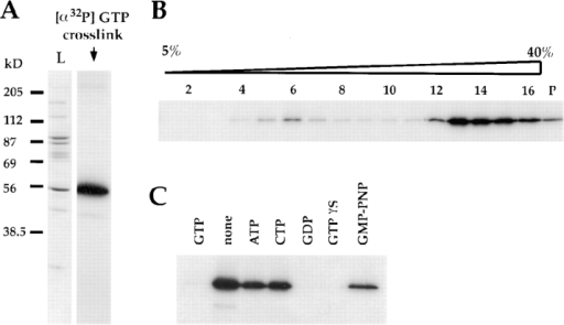 Photo cross-linking of radiolabeled GTP to γ-tubulin in  γTuSC and γTuRC. (A) GTP cross-linking of peptide-eluted  complexes. γ-tubulin is the only protein that cross-links to GTP.  (B) GTP cross-linking after sucrose gradient fractionation of the  material in A, demonstrating that γ-tubulin in both γTuSC and  γTuRC cross-links to GTP. (C) Competition of the GTP cross-link of the material in A with 200-fold excess of the indicated unlabeled nucleotides.