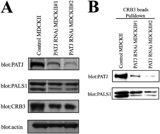 PATJ RNAi reduces PATJ but not PALS1 or CRB3 expression. (A) Lysates derived from control and two different PATJ RNAi expressing MDCKII cell lines were resolved by SDS-PAGE, followed by Western blot analysis for PATJ, PALS1, and CRB3. Blotting for actin was used as a loading control. (B) Beads containing the COOH terminus of CRB3 were used to precipitate proteins from control and PATJ RNAi lysates, followed by Western blot for PATJ and PALS1.