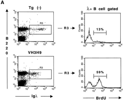 VH3H9/λ B cells have an increased in vivo turnover rate.  Tg(−) (top) and VH3H9 (bottom) mice were continuously labeled with  BrdU for 8 d. Spleen cells were then stained with anti-λ-biotin/streptavidin-Red670 and anti-B220-PE or anti–IgM + IgD–PE (Ig), fixed, permeabilized, and then incorporated BrdU was detected with anti-BrdU  Ab. (A) Dot plots show B220 versus λ (left) and histograms show BrdU  label within the B220+λ+ gate (right). Percentages are given for the  BrdU+ cells. (B) Dot plots show B220 versus Ig (left) and histograms show  BrdU label for the indicated B220+Ighigh and B220+Iglow gates (right).  These are representative plots for n = 4 tg(−) and n = 3 VH3H9 tg mice.