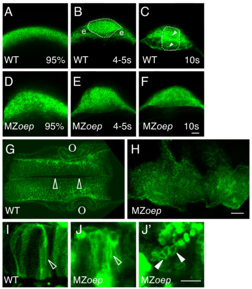 The ordered structure of the neural tube is disrupted in MZoep embryos. (A-H) Embryos were injected at the one cell stage with mGFP mRNA and imaged (A-F) live at 95% epiboly (95%), the 4–5 somite stage (4–5 s), the 10 somite stage (10 s), or (G, H) fixed at ~24 hpf. (A-F) Cross sections through the anterior developing neural plate, with presumptive eyes (e) indicated in panel B, the outer boundary of the neural tube indicated by a dotted line in panels B and C, and the midline indicated by the open arrowheads in C. (G, H) Horizontal sections through the midbrain and hindbrain of ~24 hpf embryos, with the midline of the brain (open arrowheads) and the otic vesicles (o) indicated in panel G. (I-J') Embryos were injected at the one cell stage with DNA encoding mGFP, raised to ~24 hpf, and imaged live in high magnification horizontal sections. Open arrowheads indicate elongated cells and the closed arrowheads indicate round cells. All images are confocal optical sections. Scale bars: 40 μm (A-H), 80 μm (I-J').