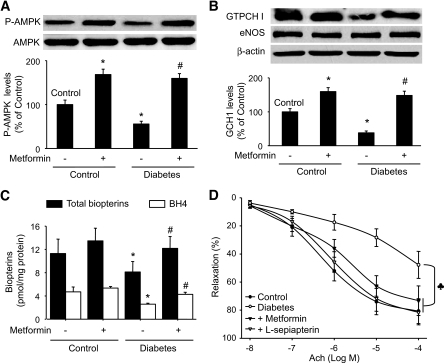 Activation of AMPK by metformin attenuates diabetes-induced reduction of phospho-AMPK-Thr172 (A), GTPCH I (B), and biopterin (C) levels and improves endothelial function. Control and diabetic mice were fed with metformin (300 mg · kg−1 · day−1) for 4 weeks. Mouse aortas were isolated and assayed for phospho-AMPK, GTPCH I, total biopterins, and BH4 levels, as described in research design and methods. The results were obtained from five mice. *P < 0.05 versus control, #P < 0.05 versus diabetes alone. D: ACh-induced endothelium-dependent relaxation was assayed as described in research design and methods (n = 5 per group, ♣ P < 0.05). l-sepiapterin (10 μmol/l) was added 1 h before the start of the experiments.