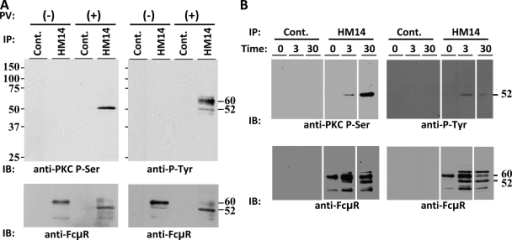 Tyrosine and serine phosphorylation of FcμR upon stimulation. (A and B) BW5147 T cells stably expressing human FcμR were incubated in the presence (+) or absence (−) of 100 µM pervanadate for 15 min (A) or with the preformed IgM immune complexes for the indicated time periods (min) at 37°C (B) before cell lysis. FcμR was immunoprecipitated from cleared lysates with anti-FcμR (HM14) or control (Cont.) mAb–coupled beads, resolved on SDS–10% PAGE under reducing conditions, transferred onto membranes, and immunoblotted with rabbit antibody specific for phosphoserine of PKC substrates along with HRP-labeled goat anti–rabbit Ig antibody (anti-PKC P-Ser) or with HRP-labeled antiphosphotyrosine mAb (anti–P-Tyr) before visualization by ECL. After dissociating blotted antibodies, membranes were reprobed with biotin-labeled anti-FcμR mAbs along with HRP-labeled SA (anti-FcμR). These experiments were performed at least three times. Mr is shown in kilodaltons.