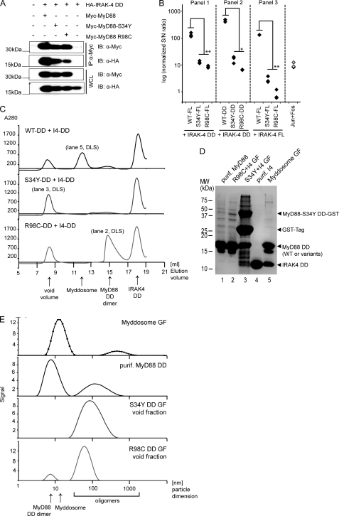 "S34Y and R98C fail to interact with IRAK4. A, the interaction of S34Y and R98C with the IRAK4 DD is reduced. Protein complexes were immunoprecipitated using anti-Myc antibody from HEK293 cells transiently transfected with Myc-MyD88 WT or mutants and Strep-HA-tagged IRAK4 DD, respectively. Precipitates and whole cell lysates (WCL) were analyzed by immunoblot (IB). B, MyD88 S34Y-and R98C-IRAK4 interactions are strongly reduced in the context of MyD88 FL and IRAK4 DD (Panel 1). Similar results were obtained in the DD-DD interactions (Panel 2). Interactions are reduced to a level of no interaction in the context of mutant FL MyD88-FL IRAK4 interactions (Panel 3). Protein A-tagged MyD88 WT and mutants in FL or DD context and Renilla luciferase-tagged IRAK4 FL or DD constructs were transfected into HEK293 cells, and LUMIER measurements were conducted as described under ""Experimental Procedures."" One representative of at least two independent experiments is shown. C, S34Y and R98C are unable to assemble into a Myddosome on size exclusion chromatography of mixtures of bacterially purified MyD88 DDs and IRAK4 DDs (added in excess). WT MyD88+IRAK4 (upper graph) mixtures elute in a discrete Myddosome peak. This peak is absent in S34Y (middle graph) and R98C (lower graph) mixtures. Both mutants elute in the void volume, containing higher order oligomers only and no IRAK4 DD. R98C also shows a dimer peak. Individual peak fractions from gel filtration (labeled GF), purified MyD88 DD or IRAK4 DD alone (for size comparison) were analyzed by reducing SDS-PAGE (D) or dynamic light scattering (marked DLS) to measure the size of protein species found in these fractions or samples (E). One representative of two independent experiments is shown respectively."