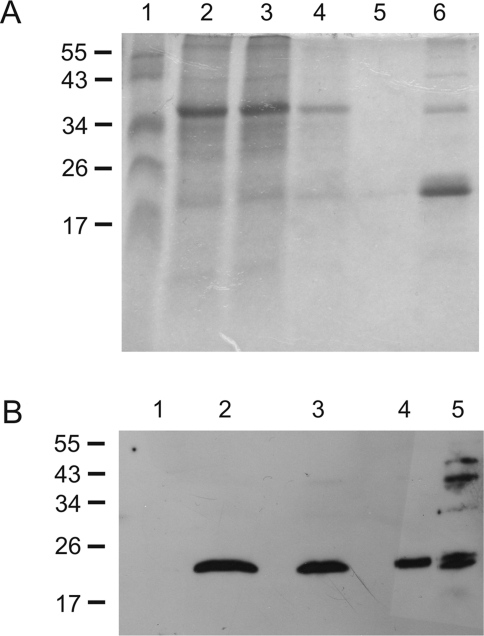 Omp19 expression in plants.(A) SDS PAGE of different fractions obtained from immobilized metal affinity chromatography. 1, Marker; 2, crude extract; 3, flow through; 4, first wash; 5, second wash; 6, eluate. Marker band sizes are indicated on the left in kDa. (B) Immunoblot of plant extracts. Crude leave extracts were separated in a 12% SDS-PAGE, transferred to a PVDF membrane and probed with Omp19 antisera. 1: WT; 2,3,4: Crude protein extracts of leaf material corresponding to 50 µg, 25 µg, and 12.5 µg of total protein, respectively. 5: 1 µg purified Omp19.