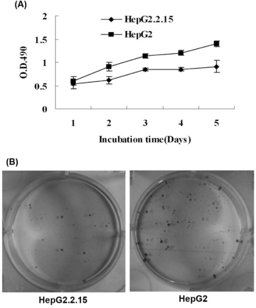 Detection of cellular growth in vitro. (A) MTT assay. HepG2.2.15 cells grew slower than HepG2 cells. (B) Colony formation assay. The average number of colonies of HepG2.2.15 cells was 17.7 ± 5.0 and that of HepG2 cells was 56.3 ± 7.6.
