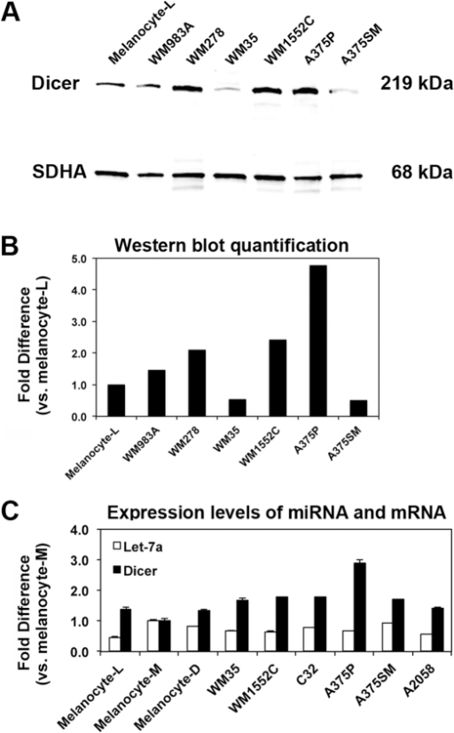 Dicer expression in cell lines recapitulated the observed deregulation in clinical specimens.A) Western blot analysis of Dicer shows a 219-kDa band. Relative band intensity was compared to succinate dehydrogenase (SDHA, 68 kDa) as a loading control. B) Western blot quantification showed >2 to 4-fold change in Dicer levels in melanoma cell lines (WM278, WM1552C and A375P) when compared to melanocyte-L or other melanoma cell lines (WM35 and A375M). C) Dicer mRNA expression did not correlate with mature let-7a expression in vitro. Using qRT-PCR, the relative expression levels of let-7a miRNA and Dicer mRNA were compared to show no significant correlation. All qRT-PCRs were performed in triplicates. Data were normalized to small nuclear RNA RNU6 for let-7a and GAPDH mRNA for Dicer. The samples are: Primary melanocytes were cultured from individuals with light (Melanocyte-L), medium (Melanocyte-M) and dark (Melanocyte-D) skin color, WM983A (primary melanoma), WM278 (primary melanoma), WM35 (primary melanoma), WM1552C (primary melanoma), C32 (amelanotic primary melanoma), A375P (metastatic melanoma), A375SM (metastatic melanoma) and A2058 (metastatic melanoma).