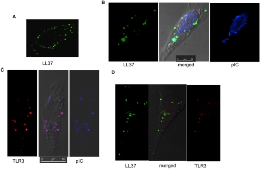 LL37 co-localizes with TLR3 and poly(I:C).A) The location of LL37 in BEAS2B cells. BEAS2B cells were cultured on coverslips and FAM-LL37 was added at a final concentration of 2 µM. Five hours after the addition of FAM-LL37, the cells were fixed and examined using confocal microscopy. B) LL37 can co-localize with Cy5-poly(I:C). FAM-LL37 (2 µM) and Cy5-poly(I:C) (1 µg/ml) were added to BEAS2B cells. The cells were fixed and imaged 5 h after the addition of the fluorescently-tagged molecules. C) TLR3 can co-localize with poly(I:C) independent of exogenously-provided LL37. BEAS2B cells were treated with Cy5-poly(I:C), then permeabilized and stained with a goat anti-TLR3 antibody in complex with Texas Red-labeled secondary antibody. D) Co-localization of FAM-LL37, endogenous TLR3 and Cy5-poly(I:C). The scale bar is 10 microns.