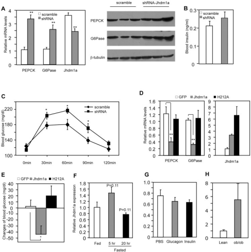 Jhdm1a regulates gluconeogenesis in vivo.(A) Jhdm1a knockdown or scramble adenoviruses were transduced into the liver of wild-type male C57BL/6J mice (n = 5 per group). Mice fed ad libitum were sacrificed at Day 5 after viral infusion. (Left) mRNA levels of PEPCK, G6Pase and Jhdm1a in the liver were measured and normalized to U36b4. **, P<0.005. (Right) PEPCK and G6Pase protein. (B) Blood insulin levels at fed state were measured at Day 5. (C) Jhdm1a knockdown or scramble adenoviruses were transduced into the liver of wild-type male C57BL/6J mice (n = 10 per group). At Day 5, mice were i.p. injected with pyruvate (2 g/kg body weight) after a starvation for 16 hr and blood glucose levels were measured. *, P<0.05. (D and E) Adenoviruses expressing wild-type Jhdm1a, H212A point mutant, or GFP were transduced into the liver of male ob/ob mice (n = 5 per group). Gene expression was measured on Day 5 and blood glucose levels were measured on Day 3 after a 5-hr fasting. Changes of blood glucose level relative to Day 0 are presented. *, P<0.03; **, P<0.01. (F) Hepatic Jhdm1a mRNA levels in male C57BL/6J mice (n = 5 per group) fed ad libitum, or fasted for 5 hr or 20 hr. (G) Male C57BL/6J mice (n = 4) were i.p. injected with glucagon (300 µg/kg), insulin (0.75 U/Kg), or PBS. Hepatic Jhdm1a mRNA levels were examined 6 hr after injection. (H) Hepatic Jhdm1a mRNA levels in lean mice and diabetic ob/ob mice (n = 3 per group).