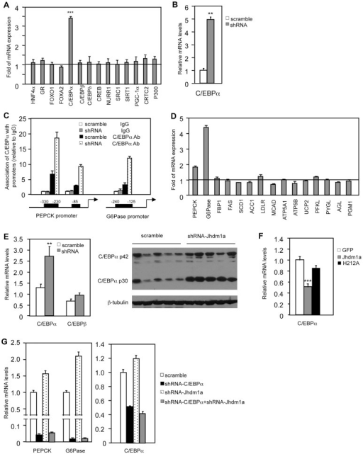 Jhdm1a regulates the expression of C/EBPα, thereby indirectly modulating gluconeogenic gene expression.(A) Jhdm1a was knocked down in HepG2 cells with shRNA lentiviruses. Expression levels of known transcriptional regulators for gluconeogenesis were examined. Data are presented as fold relative to the scramble control from three experiments. ***, P<0.00005. (B) C/EBPα expression in Jhdm1a knockdown mouse primary hepatocytes. (C) Jhdm1a was knocked down in HepG2 cells with shRNA lentiviruses. Endogenous C/EBPα association with known binding sites on the PEPCK and G6Pase promoters was examined by ChIP assay. (D) Gene expression in HepG2 cells infected with lentiviruses expressing C/EBPα or vector. (E) Increased C/EBPα expression in the liver of wild-type C57BL/6J mice (n = 5 per group) with Jhdm1a knockdown. C/EBPα mRNA level and protein level were shown from independent groups of mice. **, P<0.02. (F) Decreased C/EBPα expression in the liver of ob/ob mice (n = 5 per group) ectopically expressing wild-type Jhdm1a, but not in the liver expressing H212A point mutant. ***, P<0.001. (G) HepG2 cells were infected with lentiviruses expressing C/EBPα shRNA and selected with puromycine. Cells were then infected with lentiviruses expressing Jhdm1a shRNA without selection. Data were shown from one representative of four experiments. Note, the low induction of PEPCK and G6Pase expression by Jhdm1a knockdown is due to the lack of selection pressure.
