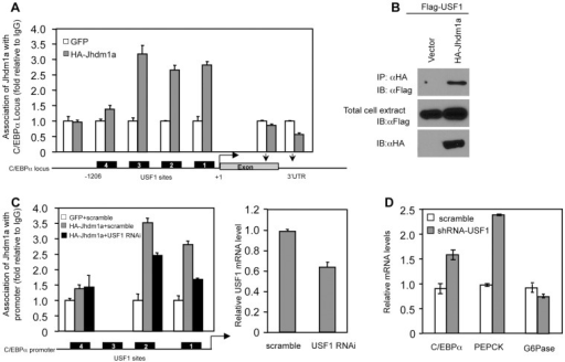 Suppression of C/EBPα expression by Jhdm1a is mediated by USF1.(A) Jhdm1a associates with putative USF1-binding sites on the C/EBPα promoter region. Adenoviral HA-Jhdm1a were expressed in HepG2 cells and ChIP assays were performed with HA antibody. Data were shown from one representative of three experiments with similar results. (B) Jhdm1a interacts with USF1. Hela cells were co-transfected with indicated plasmids. Cell extracts were incubated with HA beads and immunoprecipitates were probed with Flag antibody. (C) HA-Jhdm1a (adenoviral) along with shRNA (lentiviral) against USF1 was co-expressed in HepG2 cells. ChIP assays were performed with HA antibody. (D) Gene expression in HepG2 cells expressing lentiviral USF1 shRNA. Data were shown from one representative of three experiments.