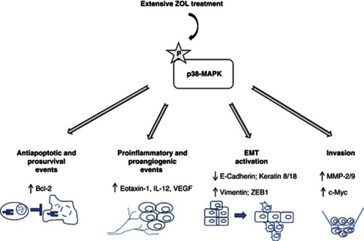 Proposed model for the mechanisms underlying the acquired resistance to ZOL and the parallel acquisition of an aggressive phenotype mediated by p38-MAP Kinase activation