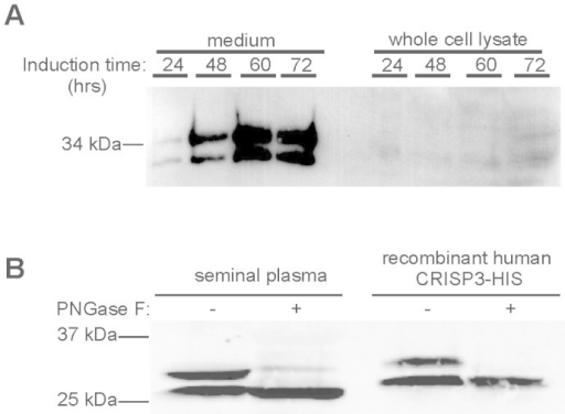 HEK 293 cells efficiently secrete unglycosylated and N-glycosylated recombinant human CRISP3.(A) Western blot with human CRISP3 antibody showing CRISP3 induction. (B) PNGase F treatment selectively affects the larger CRISP3 variant in both native (human seminal plasma, first two lanes) and recombinant ('rCRISP3-His', last two lanes) protein. Full length gels are available under supplementary data.