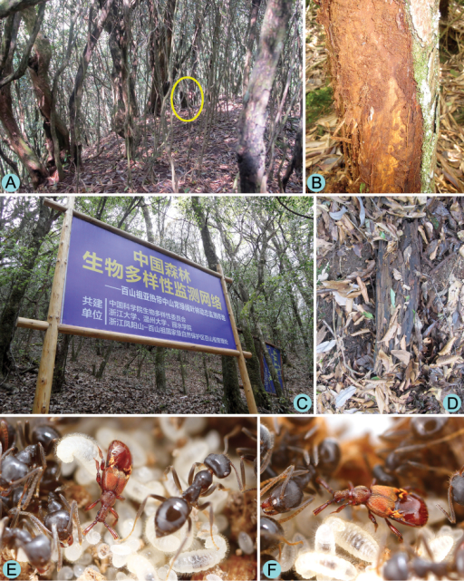 Habitat and host of Diartiger zhejiangensis. A General habitat of the Rhododendron and fir forest at Fengyang Shan Nature Reserve B Rotten trunk where the female paratype was collected C General habitat of the Fagaceae forest at Baishanzu Nature Reserve D Rotten wood where the holotype was collected E–F Living male adult of Diartiger zhejiangensis with host ants.