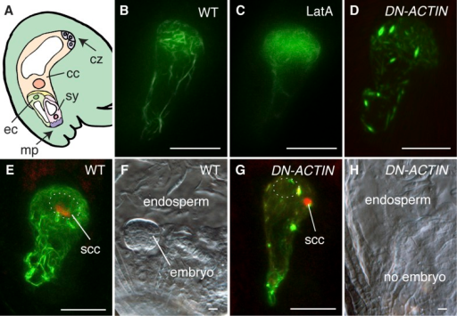 F-actin is required for egg cell fertilization.(A) Cartoon of Arabidopsis mature ovule. cc, central cell; cz, chalaza; ec, egg cell; mp, micropyle; sy, synergid. (B–D) Egg cell actin cables (B) become disassembled in LatA treatment (C) and in DN-ACTIN (D). (E and F) Successful fertilization marked by decondensation of the sperm cell chromatin (ssc, red) into the egg cell nucleus (dashed oval) (E), resulting in a normal embryo in WT (F). (G and H) Egg cell expressing DN-ACTIN shows arrests in sperm cell nuclear migration (G) and embryo development (H). Scale bar = 10 µm.DOI:http://dx.doi.org/10.7554/eLife.04501.003