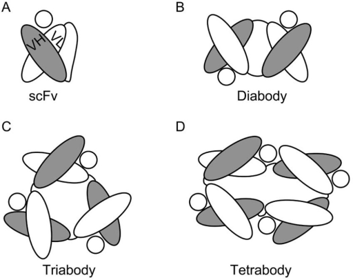 Diagrams depicting the structure of (A) an scFv fragment (IgG); and the derived (B) diabody; (C) triabody; and (D) tetrabody. The circles in each panel represent the specific Ag of the depicted Fv.