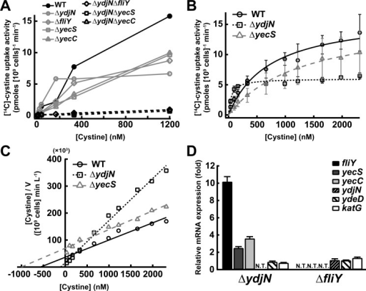 FliY-YecSC and YdjN are CySS importers with distinct properties.CySS uptake activity (initial rate) in the putative CySS importer gene disruptants (A) at various CySS concentrations and (B) in broader range of CySS concentrations to determine its kinetic parameters. Indicated concentrations of CySS containing radiolabeled [14C]-CySS was added to cells in assay buffer. After incubation for CySS uptake, cells were collected, and the amount of imported [14C]-CySS was detected by scintillation counter. (C) Hanes-Woolf plot of data shown in (B). (D) Induction of mRNA levels of CySS uptake and Cys transport genes by disruption of CySS importer gene. Cells of the exponential phase cultivated in LB medium (normal condition) were used for RT-PCR analysis. The catalase gene (katG) was also examined to judge the occurrence of oxidative stress by the gene disruption. The levels represent ratios compared to those of the same genes in wild-type cells.