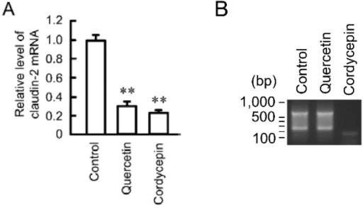 Effect of quercetin on polyadenylation. (A) A549 cells were incubated in the absence (control) and presence of 50 μM quercetin or 10 μM cordycepin for 6 h. The expression level of mRNA was quantified by real-time PCR using primers for claudin-2 and β-actin, and was represented relative to values at control; (B) After reverse transcription using Olig-dT-3 sites adaptor primer, 3′-RACE PCR was carried out. The PCR products were visualized with ethidium bromide. n = 3–4. ** p < 0.01 is significantly different from control.