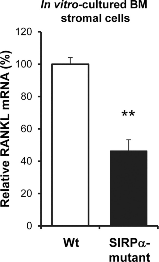 Reduced RANKL gene expression, in vitro, in BM stromal cell culture of SIRPα-mutant mice.The mRNA expression of rankl in wild-type (Wt–open bar) or SIRPα-mutant mice (Mut–black bar) BM stromal cells cultured for 12 days, was determined by RT-qPCR. Wild-type control was set to 100% and data of mRNA analyses are quantitative values normalized to the house keeping gene β-actin. The rankl mRNA expression was analyzed in three separate experiments and the data shown are the means±SEM of 4 samples/group in one representative experiment. **P<0.01, using Student's t-test for unpaired analyses.