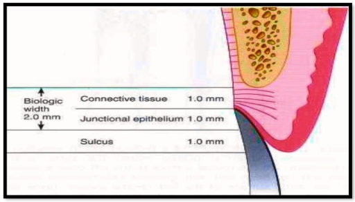 average human biologic width connective tissue attachment1 mm in height junctional epithelial attachment 1