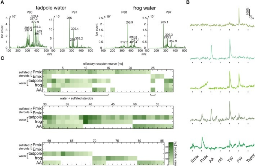 Tadpole and frog breeding water contains sulfated compounds and activates neurons sensitive to synthetic steroids. (A) Following chromatographic extraction of steroids from breeding water, precursor ion scan mass spectrometry was used to analyze the abundance of peaks that fragment to produce negative ions with m/z of 80 (, left column) or 97 (, right column). (B) Representative calcium responses of five MOE neurons. The shown cells include the main subgroups of responding cells, i.e., cells responding to both synthetic steroids (200 μM) and breeding water (1:1 dilution), cells responding to amino acids (100 μM) and breeding water, cells responding to breeding water only, and cells responding to synthetic steroids, breeding water and amino acids. (C) Response matrix of neurons in the MOE responding to breeding water (1:1 dilution) and synthetic sulfated steroids (200 μM; 85 cells, 5 slices). The majority of the neurons responding to synthetic steroids also responded upon application of breeding water (16 out of 27 cells). Response intensity is coded by a color gradient. A mixture of amino acids (AA, 100 μM) was applied as a control for slice viability. TW, tadpole breeding water; FW, frog breeding water; TapW, tap water control; ctrl, bath solution control.