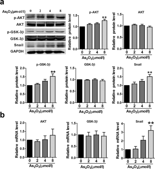 As2O3 activates the AKT/GSK-3β/Snail pathway.(a) HAECs were treated with or without As2O3, and the expression of Snail and the activation of AKT and GSK-3β were determined by western blotting. (b) Relative mRNA expression level of AKT, GSK-3β and Snail in different groups. **p < 0.01 vs. untreated condition (0 μmol/l As2O3). Data are expressed as mean ± SEM, n = 3–5.