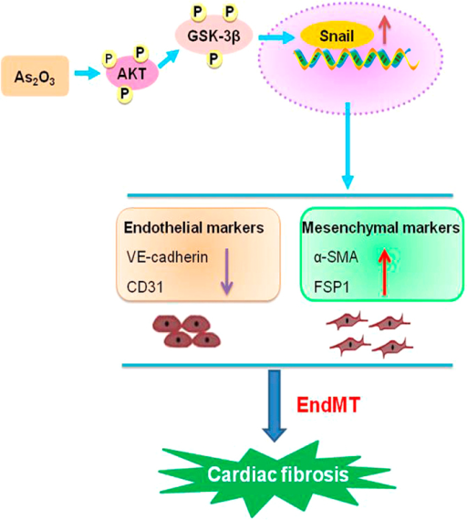 A schematic diagram revealing the underlying mechanisms of As2O3 induced EndMT and cardiac fibrosis.