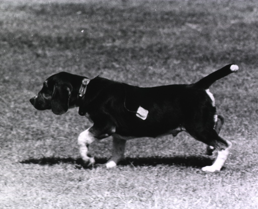 <p>A dog with a microphone taped to its fur and connected to a tiny transmitter attached to his collar.</p>