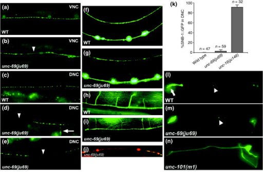unc-69 affects axonal but not dendritic trafficking. (a,c) SNB-1::GFP is seen as evenly spaced puncta along the (a) VNC and (c) DNC in wild-type animals. (b,d,e) In unc-69(ju69) mutants, SNB-1::GFP puncta are on average bigger and often are absent from the VNC (arrowhead in (b)) and the DNC (arrowheads in (d,e)). In addition, SNB-1::GFP sometimes diffuses into the commissure (arrow in (d)). (a,b,e) Lateral views; (c,d) dorsal views of adult hermaphrodites. (f-i) As in (f,h) wild-type animals , neuronal morphology is grossly normal in (g,i) unc-69(ju69) mutants, and commissures still routinely reach the DNC. D-type GABAergic neuron morphology is visualized with the Punc-25::gfp transgene juIs76. (f,g) Lateral views; (h,i) dorsal views. (j) Distribution of SNB-1::GFP puncta in a stretch of axon labeled with Punc-25::DsRed monomer in the DNC in a unc-69(ju69) mutant hermaphrodite. SNB-1::GFP puncta are unevenly distributed, even though the DNC anatomy is grossly normal. (k) SNB-1::GFP is not significantly mislocalized into DD dendrites in unc-69(ju69) mutants. Animals carrying an snb-1::gfp transgene were scored at the L1 larval stage. Whereas 90% of unc-16(ju146) L1 larvae (n = 32) show dorsal GFP, 0% of wild-type L1s (n = 47) and 3% unc-69(ju69) L1s (n = 59) show dorsal GFP. Error bars represent the standard error of the mean. (l-n) The diacetyl odorant receptor ODR-10::GFP is targeted efficiently into AWB cilia both in (l) wild-type worms and in (m) unc-69(ju69) mutants. (n) In contrast, ODR-10::GFP becomes diffused in the dendritic targeting mutant unc-101. The arrow indicates the cilia; arrowheads indicate packets of ODR-10::GFP that shuttle in the dendrites. Anterior is to the left and dorsal is up.