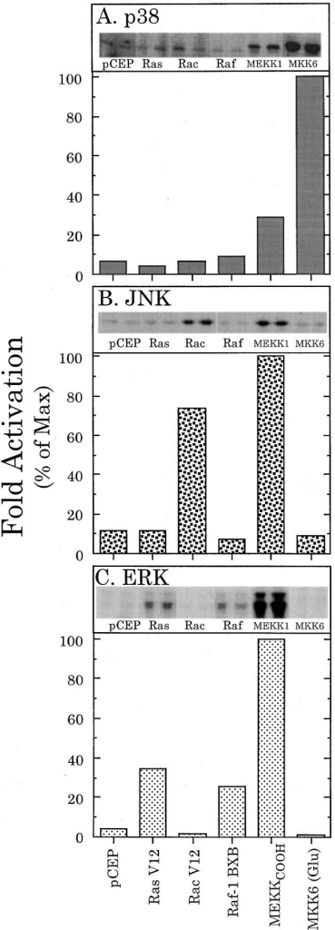 Activation of p38, JNK, and ERK MAP kinases in myocardial cells. Myocardial cells were cotransfected with an expression construct encoding activated Ras (Ras V12), Rac (Rac  V12), Raf (Raf-1 BXB), JNK kinase (MEKKCOOH), p38 kinase  (MKK6 [Glu]), or an empty vector control (pCEP) and either  HA-p38, HA-JNK, or HA-ERK. After a 48-h incubation in serum-free media, the cultures (∼3 × 106 cells each) were extracted  and incubated with an HA monoclonal antibody, and the appropriate kinase assay was carried out on the resulting immune complex, as described in the Materials and Methods. After exposing  the resulting SDS gel to a phosphorimager plate, each phosphorylated substrate band was digitized and printed (see the inset of  each panel). The relative density of each band was determined  using Molecular Dynamics Image Quant software (Sunnyvale,  CA). Each treatment was carried out on two identical cultures,  and the average of the band density for each treatment was then  normalized to the maximal value obtained in each experiment.  Shown is the percentage of the maximum; the average variation  between duplicate samples was 10% or less. This is representative of three identical experiments that produced similar results.