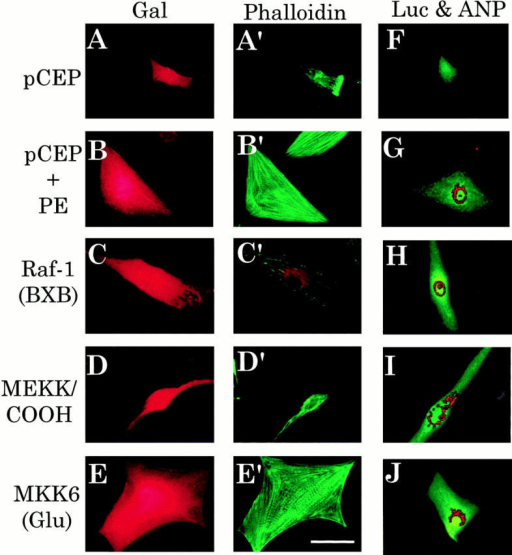 Fluorescent microscopic analyses of the effects of Raf-1 BXB, MEKKCOOH, or MKK6 (Glu) expression constructs on size, sarcomeric organization, and endogenous cardiac-specific gene expression in myocardial cells. Myocardial cells were cotransfected with Raf  (Raf-1 BXB), JNKK kinase (MEKKCOOH), p38 kinase (MKK6 [Glu]), or an empty vector control (pCEP) and CMV–β-galactosidase  (A–E′) or ANP-3003GL (F–J), as described in the legend for Fig. 1. After 48 h of incubation in either serum-free control media or in the  same media containing 10 μM of the α1-adrenergic receptor agonist, phenylephrine (PE) + 1 μM propranolol (the latter to block potential binding to β-adrenergic receptors), cultures were fixed in paraformaldehyde. (A–E) β-galactosidase expression (Gal), used to identify transfected cells, was visualized with a Texas red–conjugated second antibody and photographed using a rhodamine-compatible filter.  (A′–E′) Actin organization in the same β-galactosidase–positive cells shown in A–E was assessed by staining them with BODIPY-conjugated phalloidin (Phalloidin) and photographing them using an FITC-compatible filter. (F–J) In a separate experiment, luciferase expression (Luc), used to identify transfected cells, was visualized with an FITC-conjugated second antibody and photographed using an  FITC-compatible filter. The same cells were also assessed for endogenous ANP expression (ANP), viewed with a Texas red–conjugated  second antibody, and photographed with a rhodamine-compatible filter. The digitized photographic images of luciferase- and ANP-positive  cells were overlaid using Adobe Photoshop (San Jose, CA), and the resulting montage was prepared in Claris MacDraw Pro. Bar, 50 μM.