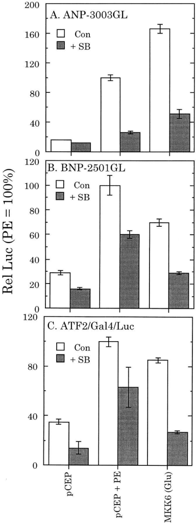 Effects of SB 203580 on ANP-, BNP-, or ATF2-dependent luciferase production in myocardial cells. Myocardial cells  were cotransfected with MKK6 (Glu) or an empty vector control  (pCEP and pCEP + PE) and either ANP-3003GL, BNP-2501GL,  or pG5E1bLuc reporter constructs. In C, cells were also transfected with ATF2/GAL4 (codes for the ATF2 transcriptional activation domain fused to the Gal4 DNA–binding domain). All  cells were also transfected with CMV–β-galactosidase for normalization purposes. Cultures were then maintained for 48 h with  or without SB 203580 (20 μM) or with or without DMSO (vehicle  control) and with or without PE (10 μM) + propranolol (1 μM),  as shown and then extracted and assayed for luciferase and β-galactosidase reporter activities, as described in Materials and Methods. Luciferase enzyme units were normalized to β-galactosidase,  and the values obtained with each treatment were normalized to  pCEP + PE. Values are means ± SE, n = 3 cultures.