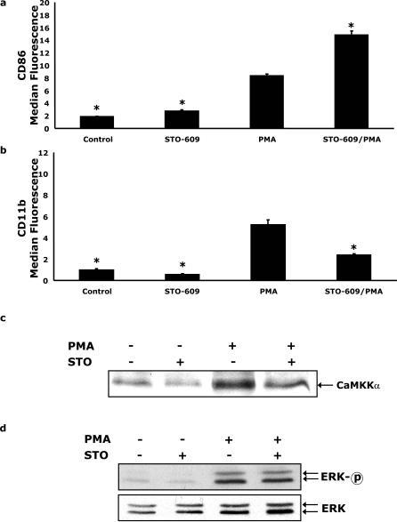 The CaMKKα inhibitor STO-609 enhances PMA-dependent up-regulation of CD86 but blocks CD11b expression and CaMKKα nuclear localization.(A and B) U937 cells were pretreated with or without 5 µg/ml STO-609 for 6 h prior to activation with 100 nM PMA for 48 h, as indicated. Surface expression of CD11b and CD86 was quantified by flow cytometry using FITC-conjugated CD11b and PE-conjugated CD86 antibodies. Results significantly different from PMA at α = 0.05 are indicated by (*). Results represent an average of three independent experiments±SEM. (C) Cells were treated as in panel A and CaMKKα was quantified by Western analysis of nuclear lysates. Results are representative of three independent experiments. (D) U937 cells were treated as in panel A and ERK1/2 phosphorylation (ERK-p) and mass (ERK) were measured by Western analysis in whole cell lysates. Results are representative of three independent experiments.