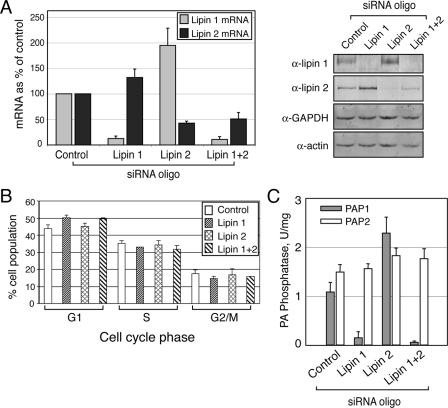 "Depletion of lipin 1 and 2 in HeLa M cells. A, siRNA down-regulates lipin 1 and 2 mRNA and protein expression. The cells were transfected with either a nontargeting (Control), or lipin 1, lipin 2, or lipin 1 and 2 small interfering RNA duplexes. 72 h after transfection, mRNA (left panel) or protein (right panel) levels were determined by real time PCR and immunoblotting, respectively, using the indicated antibodies. B, cell cycle profiles of cells from A were determined by flow cytometry as described under ""Experimental Procedures."" The significance of the difference between control and lipin 1 siRNA-treated cells found in the G1 phase is indicated by p < 0.00005. The data are averages from eight independent experiments. C, lipin 1 is the major PAP1 enzyme in HeLa M cells. Control and lipin siRNA-treated cells were lysed 72 h after the knock-down, and PAP assays were performed as described under ""Experimental Procedures."" The results shown were determined from triplicate enzyme assays ± S.D. and were reproduced in two independent experiments."
