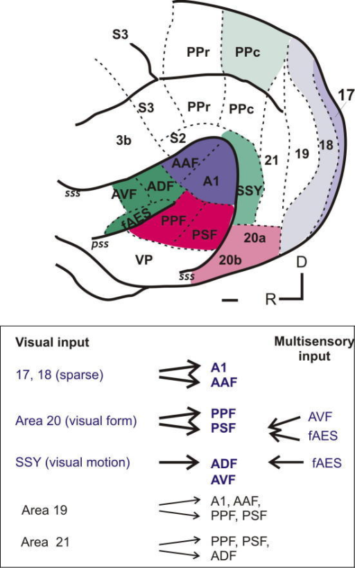 Summary of inputs from visual cortex to auditory cortex open i summary of inputs from visual cortex to auditory cortex the lateral view of the ferret ccuart