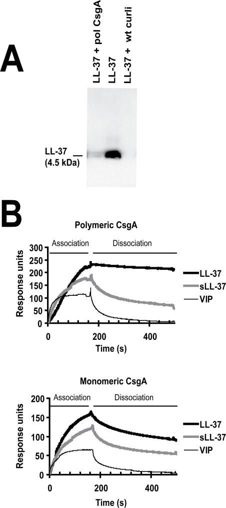 LL-37 binds to recombinant polymerized CsgA and isolated wild-type curli.(A) Western blot analysis of supernatants after precipitation of LL-37 with curli. By adding polymeric CsgA (pol CsgA) or wild-type curli (wt curli) to a solution of 0.1 µM LL-37, the levels of LL-37 decreased in the supernatants after centrifugation. (B) Surface plasmon resonance. LL-37 exhibits a stronger association and lower dissociation rates to both polymeric (upper panel) and monomeric CsgA (lower panel) compared to the control peptides sLL-37 and VIP.