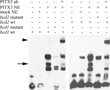 Electrophoretic mobility shift assays (EMSA) demonstrate interaction between PITX3 and bcd1 and bcd2 sites.EMSA performed with bcd1 and bcd2 oligonucleotides. DNA-PITX3 complexes are indicated with a full arrow; supershifts are shown with an arrowhead. ab = antibody, NE = Nuclear extracts, wt = wild type.